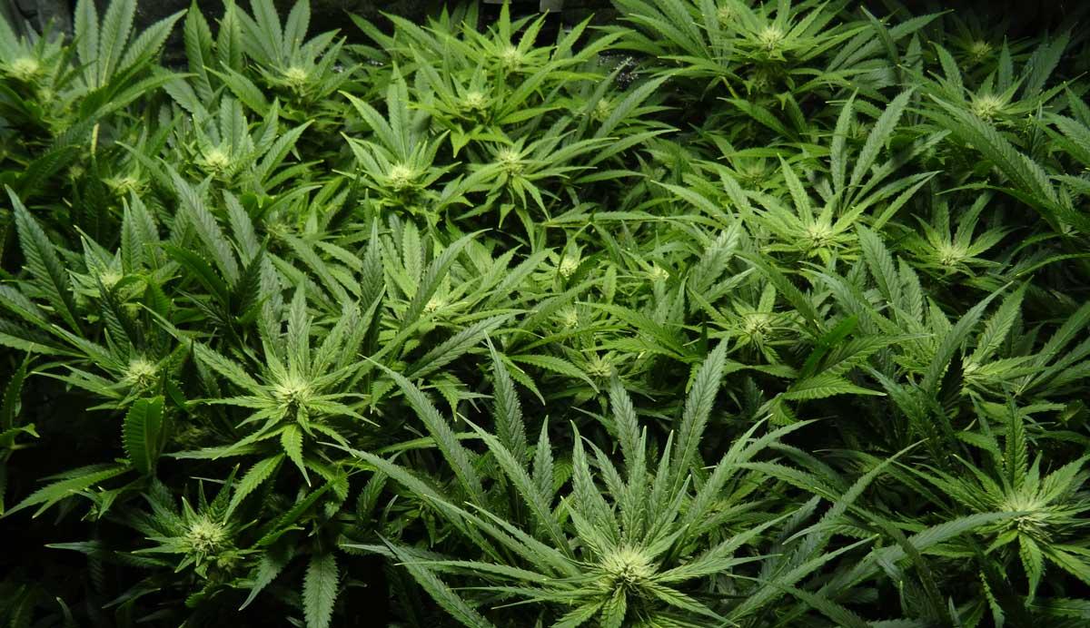 canopy-of-medical-marijuana-buds-floweri
